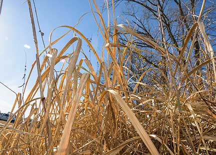 Now is the time to spot, treat cogongrass patches