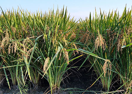 New rice variety serves niche for Mississippi rice growers