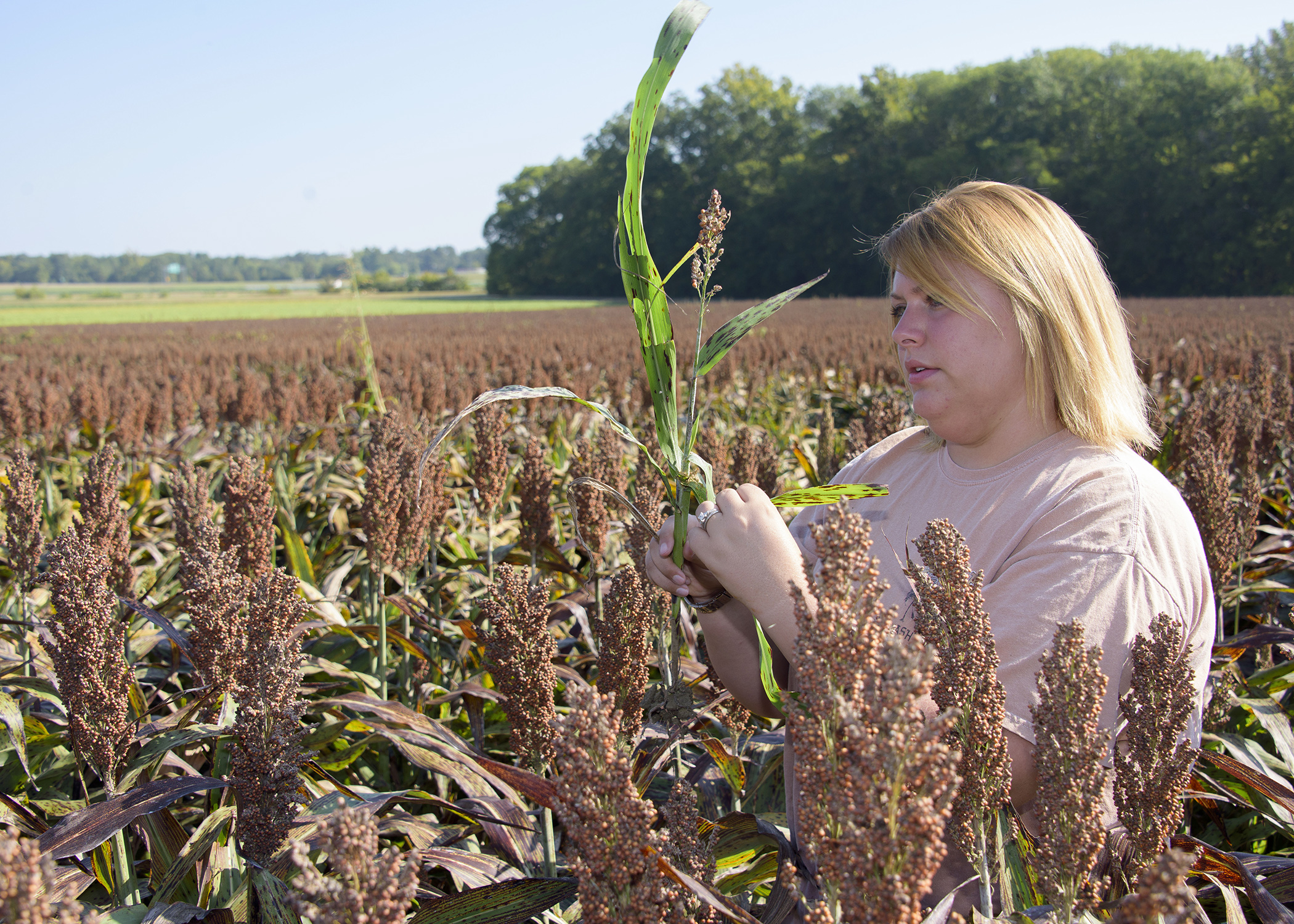 MSU sorghum research focuses on aphid control