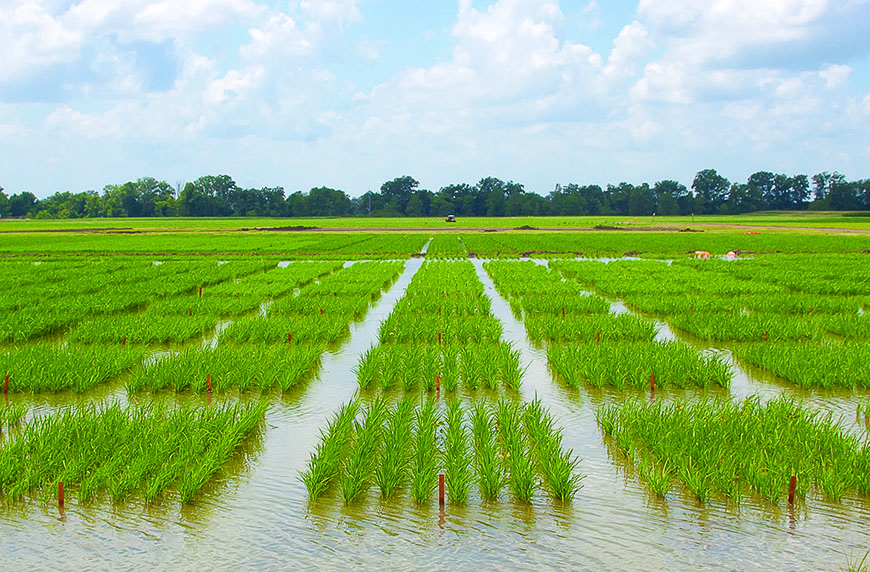 Rice growers reduce water, maintain yields