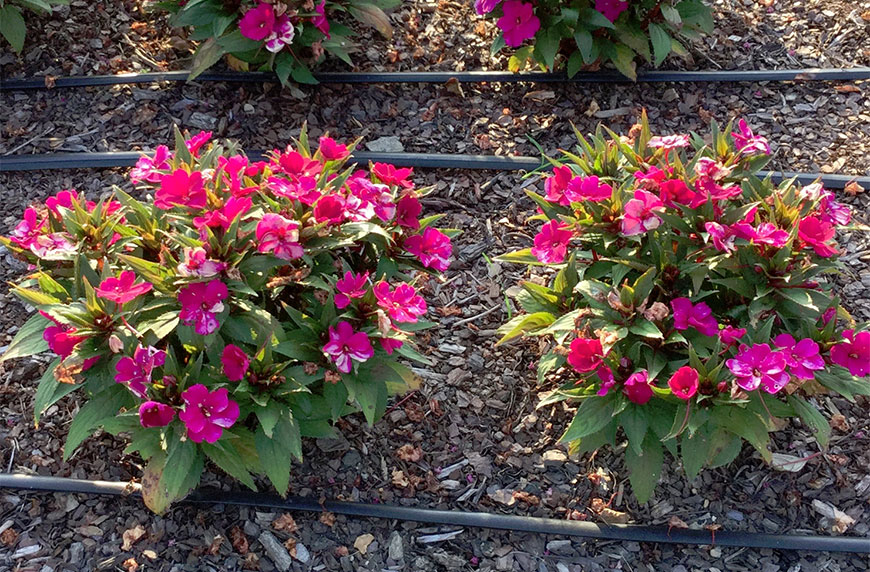 MSU researchers describe new disease of impatiens