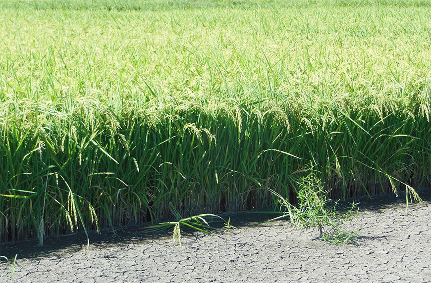 New rice growing plan uses same weed control