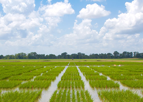 Rice producer field day set for Aug. 2
