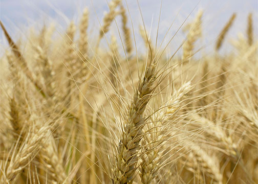 State wheat yields good on limited planted acres