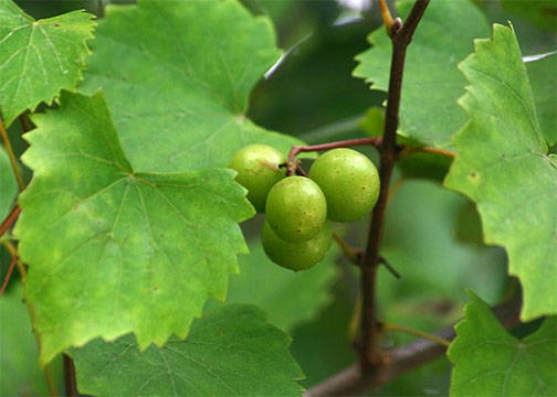 MSU offers muscadine field day on Aug. 26