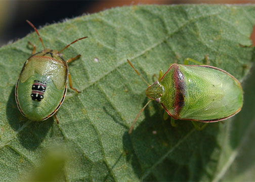 ArkLaMiss Emergency Forum on Redbanded Stink Bug