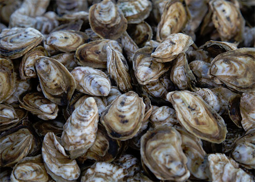 MSU study to optimize oyster resources in the state