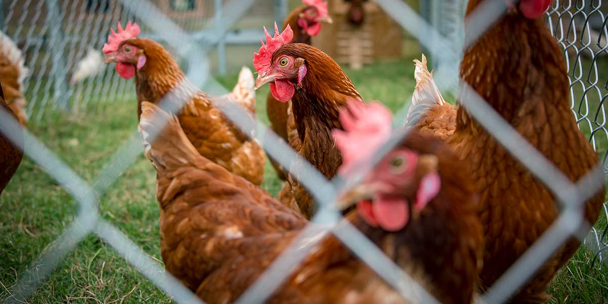 Cage-free unit added to MSU poultry department