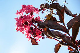 crape myrtles against blue sky
