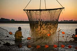 farmers harvesting catfish