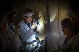 scientist looking at ham curing with flashlights