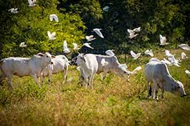 cows and birds in field