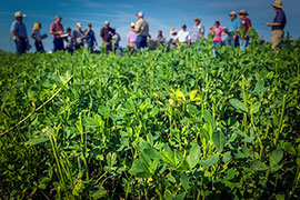 field day in field of alfalfa