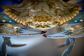 close-up of a blue crab