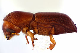 red bay ambrosia beetle on white background