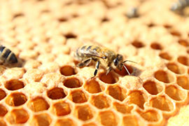 honey bee on honecomb