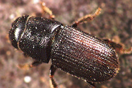 Asian Beetle Threatens Coastal Trees