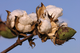 cotton against blue sky