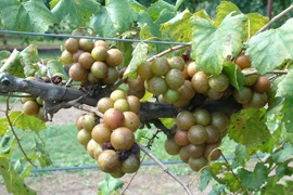 muscadines growing on a vine