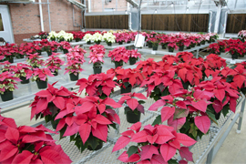 greenhouse with poinsettas