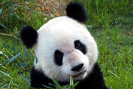 MSU professor finds pandas may aid biofuel production