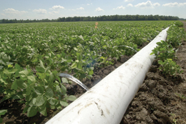 cotton running from a polypipe irrigating soybean