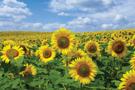 Cultivating sunflowers for energy production